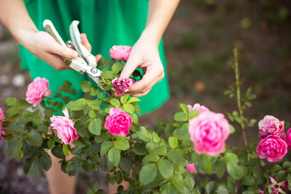 Growing roses in your home garden