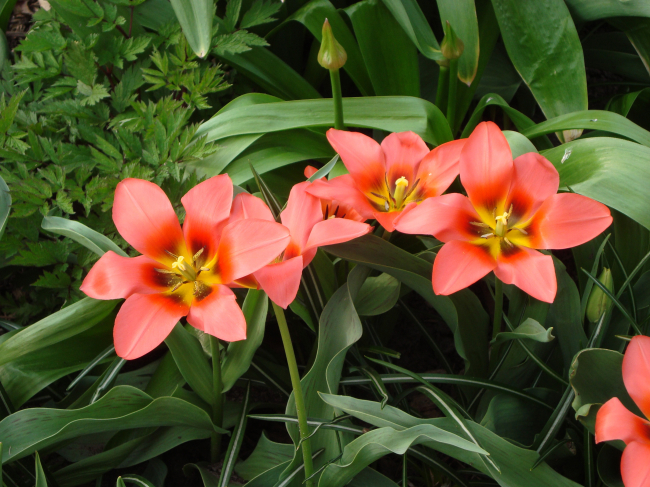 MARK CULLEN: Spring-Flowering Bulbs in Containers Image
